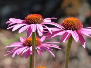 echinacea-cure-infection