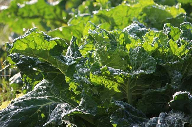 collard-greens-plant-based-calcium-foods