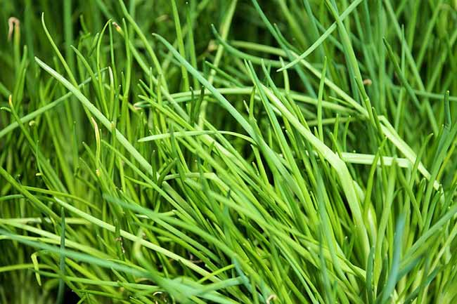 chives-best-herbs-to-grow-indoors
