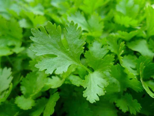 parsley-indoor-herb