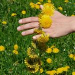 14 Dandelion Health Benefits Backed by Research
