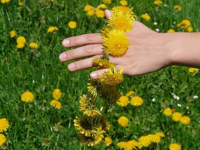 dandelion-benefits