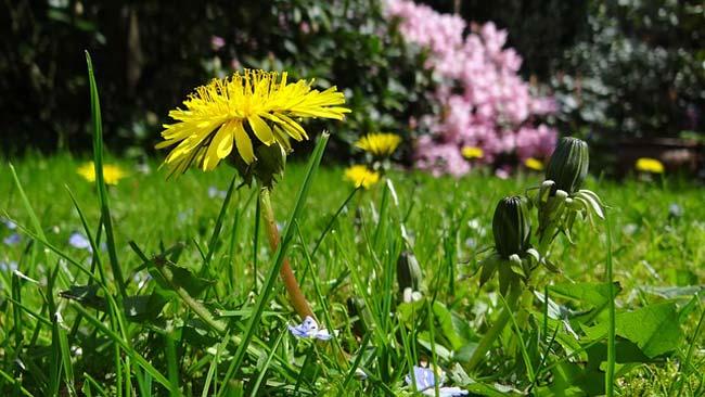 dandelion-root-benefits