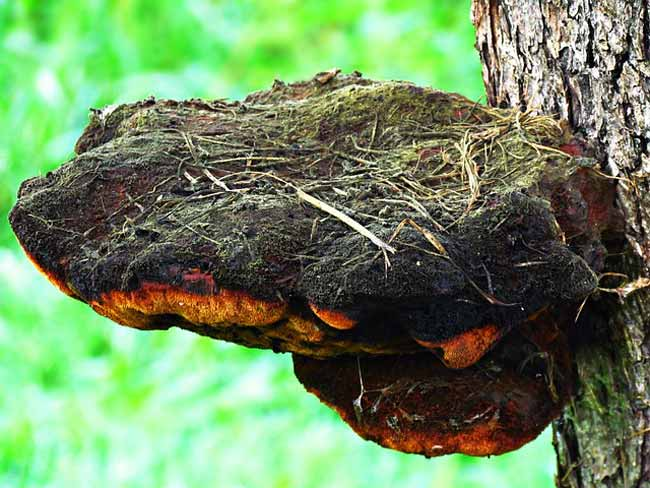 chaga-mushroom-benefits