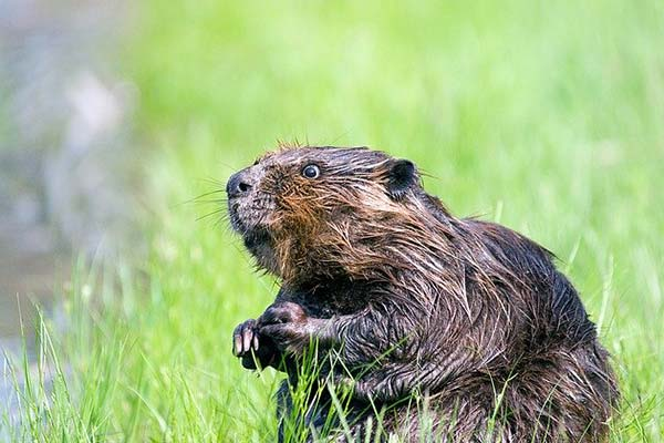 beaver-castoreum