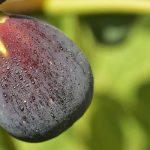 Are Figs Vegan? The Truth About Wasps & Fig Tree Pollination