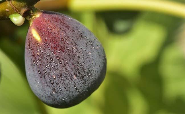 fig-tree-wasps