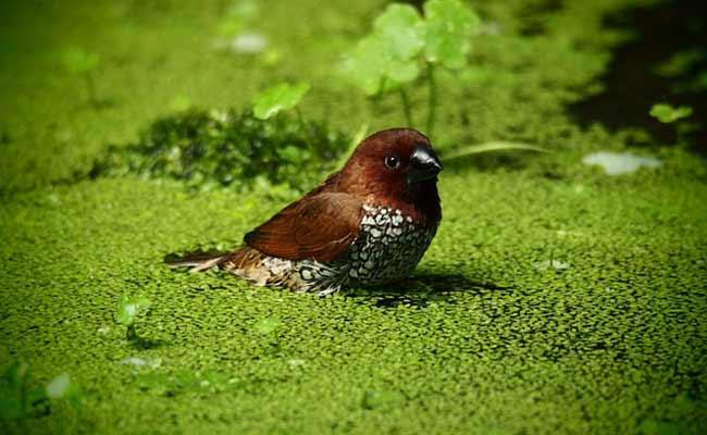 duckweed-b12